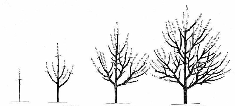Формирование кроны при обрезке деревьев