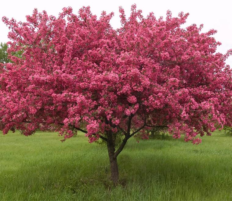 о декоративных яблонях
